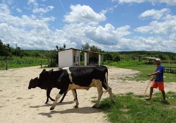 Pequeno proprietário tange duas vacas