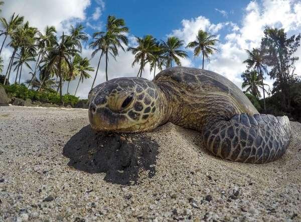 Tartaruga na praia perto de mancha